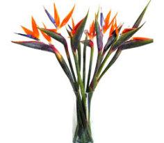 birds of paradise flowers of costa rica