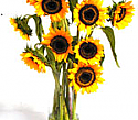 sunflowers costa rica